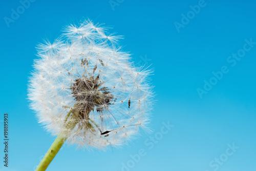 Overblown dandelion macro, blue sky - 198895903