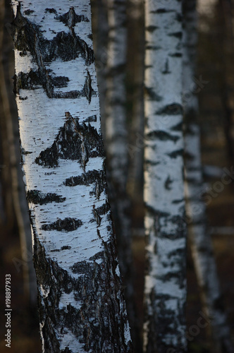 Fotobehang Berkenbos Birch Tree Grove Trunks Bark Closeup Background, Large Detailed Vertical Birches Landscape Scene, Rural Spring Season, Wild Forest Trees Trunk Group Vivid Detail, Village Country Woods, Countryside