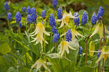 Closeup of yellow Fawn Lily Wildflowers with Grape Hyacinth