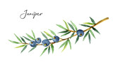 Watercolor plants juniper isolated on white background. - 198931941