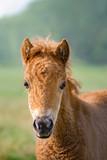 A chestnut colored Shetland pony foal portrait - 198933966