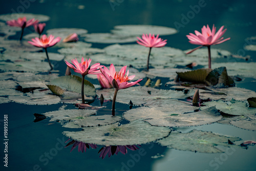Plexiglas Donkergrijs waterlillies adorn the water in vietnam