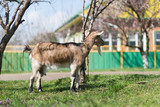 Goats graze  in the village