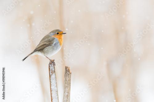 Leinwanddruck Bild Rotkehlchen auf einem Schilfansitz im Winter