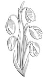 Snowdrop flower graphic black white isolated bouquet sketch illustration vector - 198946514
