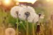 dandelions. wildflowers - 198948326