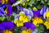 Two-colored pansies violet with yellow close-up. Violets in the spring forest. Violet pansies in the summer garden. Floral background of lilac pansies and green leaves.  - 198954719