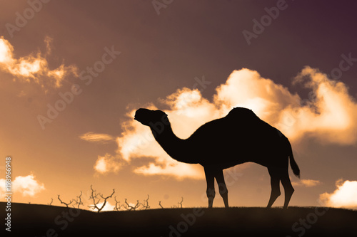 Canvas Kameel Silhouette of walking camel on the sand dunes