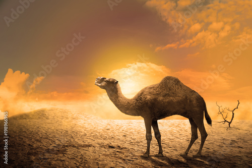 Fototapeta Camel on the sand dunes at sunset