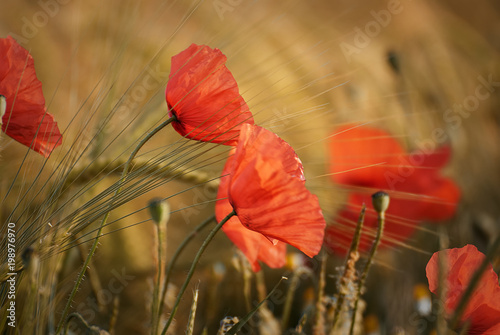 Beautiful poppy flower on a field in summer - 198976970