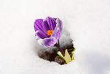 offene krokusblüte im schnee bei sonnenschein - 198979335