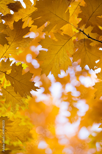 Foto op Canvas Herfst Autumn yellow maple leaves background