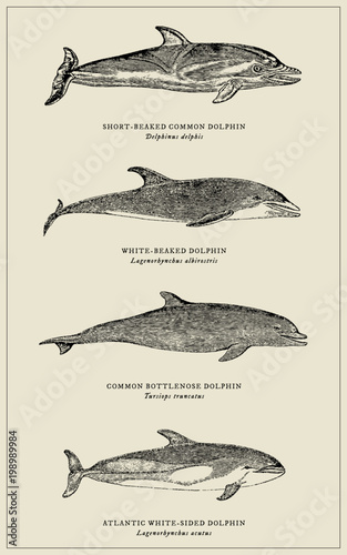 Fototapeta collection of four different dolphins with scientific names (after an antique engraving or illustration from the 19th century)