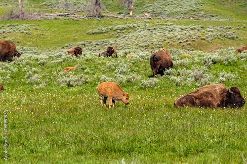 Aluminium Bison American bison family in Yellowstone