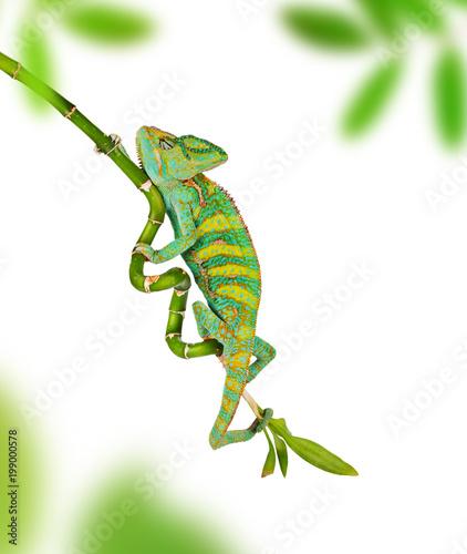 Fototapeta Veiled chameleon (chamaeleo calyptratus) close-up.