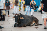 Cow lying on busy street of the Indian city.
