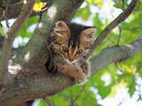 The small tabby kitten  plays in  tree branches