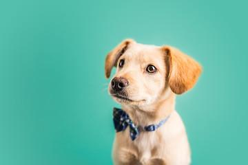 Adorable golden puppy © MeganBetteridge