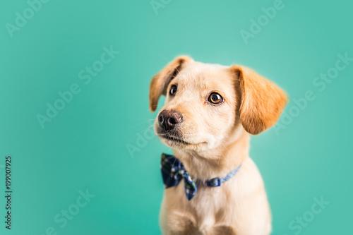 Adorable golden puppy - 199007925