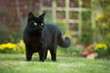 Close up of a black cat on the grass