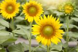 Yellow sunflower bloom in the garden.