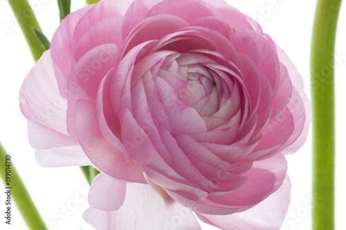 Pink lotus flower romantic in color warm feeling of love buy pink lotus flower romantic in color warm feeling of love mightylinksfo