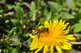 Honey bee on dandelion. Honey bee pollinating on spring meadow - 199019101