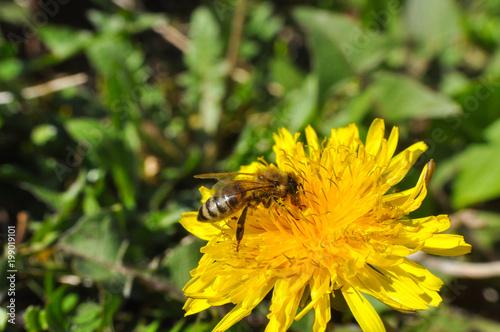 Honey bee on dandelion. Honey bee pollinating on spring meadow - 199019101