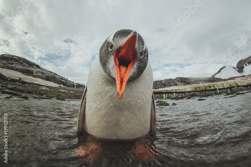 Fotobehang Antarctica cute gentoo penguin in Antarctica, adorable baby animal, sea bird singing