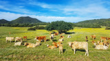 Cows in Paradise