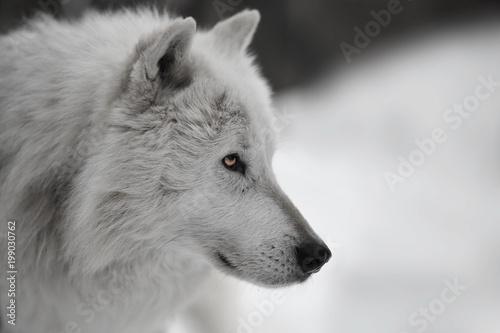 Fototapeta Weisser Wolf Weißer Wolf