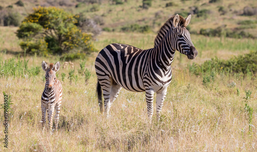 Mother Zebra and Her Foal - 199035922