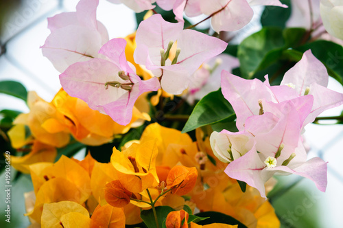 Background of beautiful yellow and pink flowers © delobol