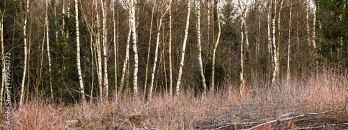 Birken Wald im Frühling - 199048772