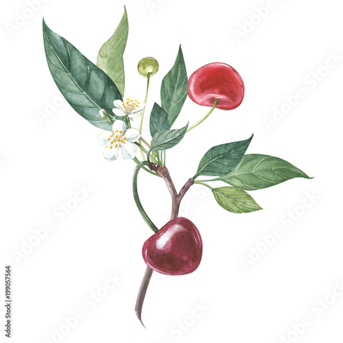 Fototapeta Collection of highly detailed hand drawn cherry. Watercolor botanical illustration isolated on white background.