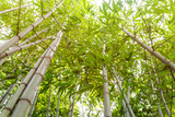 Juicy young bamboo thickets