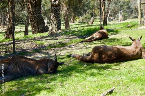 Aluminium Bison Australian Wildlife - Kangaroos