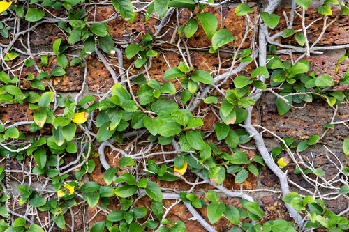 Foto op Plexiglas Baksteen muur The wall with ivy plants