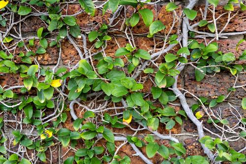 Fotobehang Baksteen muur The wall with ivy plants