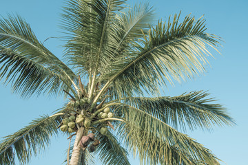 Tropical coconut trees are large and beautiful