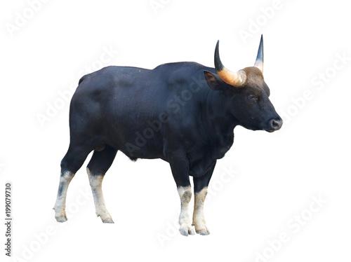Aluminium Bison gaur isolated on white background