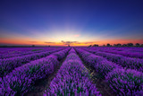 Lavender flower blooming fields in endless rows at sunset - 199095954