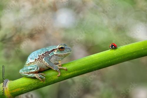 Tree frog - Stock Image - 199102339