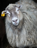grey sheep looking into camera - 199142197