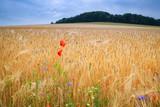 Reifes Getreidefeld mit Mohn- und Kornblumen