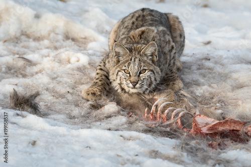 Bobcat na pogórzu w Albercie