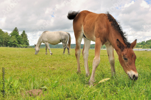 Fotobehang Paarden brown foal grazing grass with mare background in a meadow