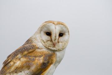 Barn Owl (Tyto Alba) portrait against white background