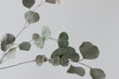 Eucalyptus leaves with white background