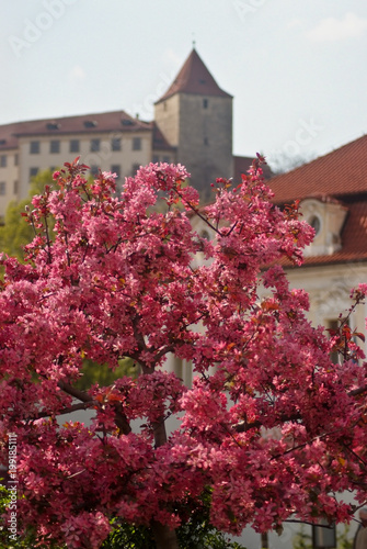 Fotobehang Bordeaux A beautiful spring tree with pink flowers